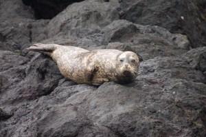 Harbor Seal by Rob Nawojchik