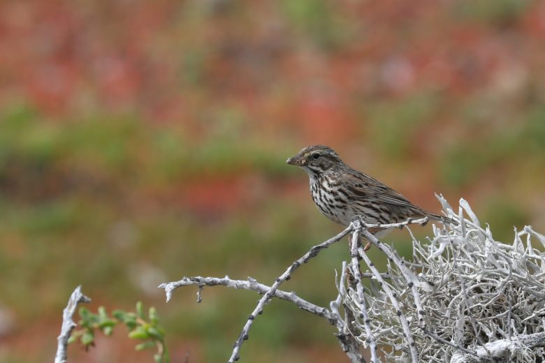 Endemic savannah sparrow