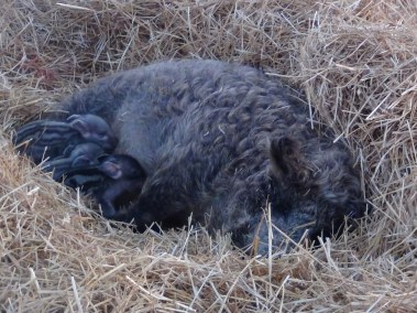 This is the sow in the open field.  Everyone's snuggled in and she has lots of straw to work with.