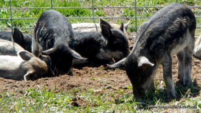 Weaner pigs clearing some garden space.