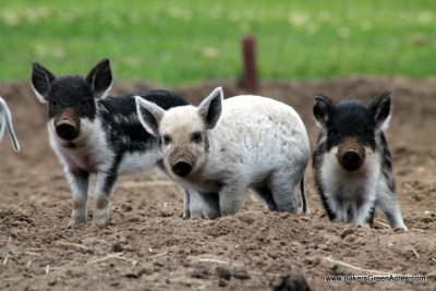 Mangalitsa piglets checking out the photographer.