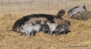 A Mangalitsa sow with her piglets.