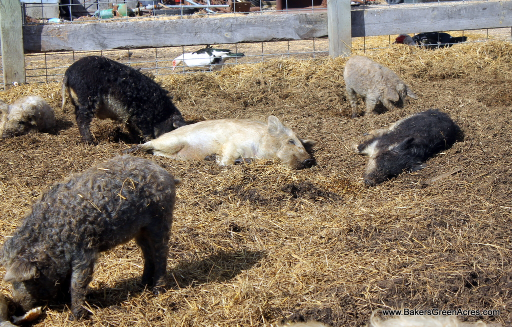 Meant to be pigs – Raising Mangalitsa Hogs