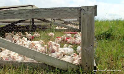 Pasture raised chickens enjoying fresh air and sunshine.