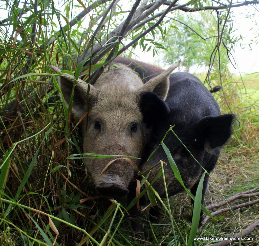 Mangalitsa Hogs
