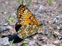 Svenska Fjärilar Galleri 1