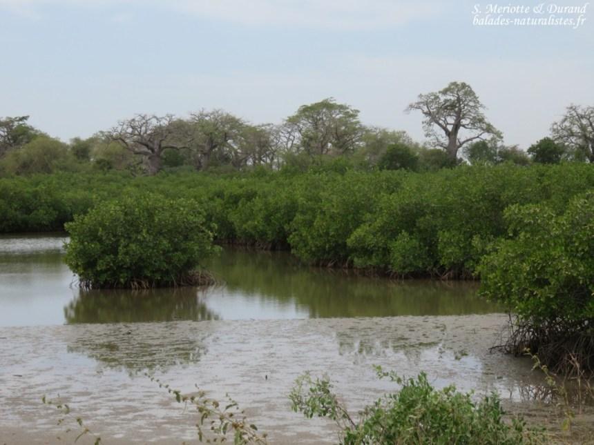Mangrove, Sine Saloum