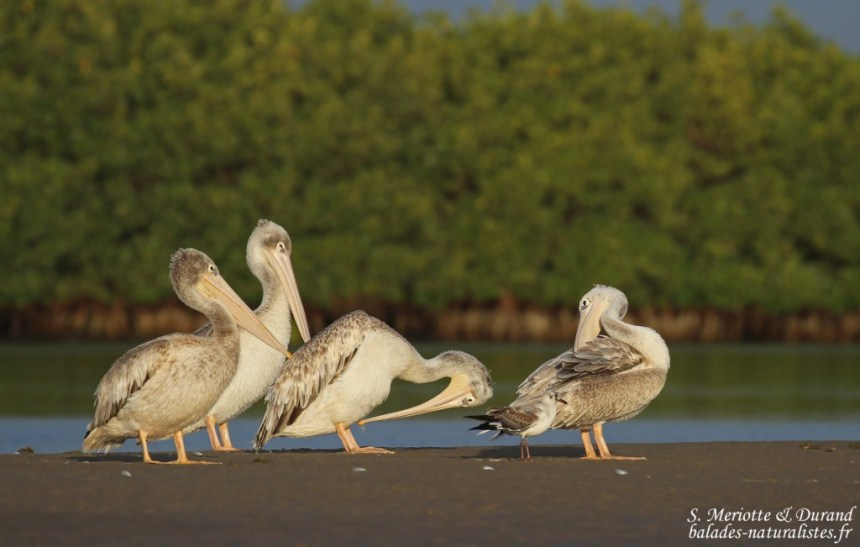 Pélicans gris, Sine Saloum