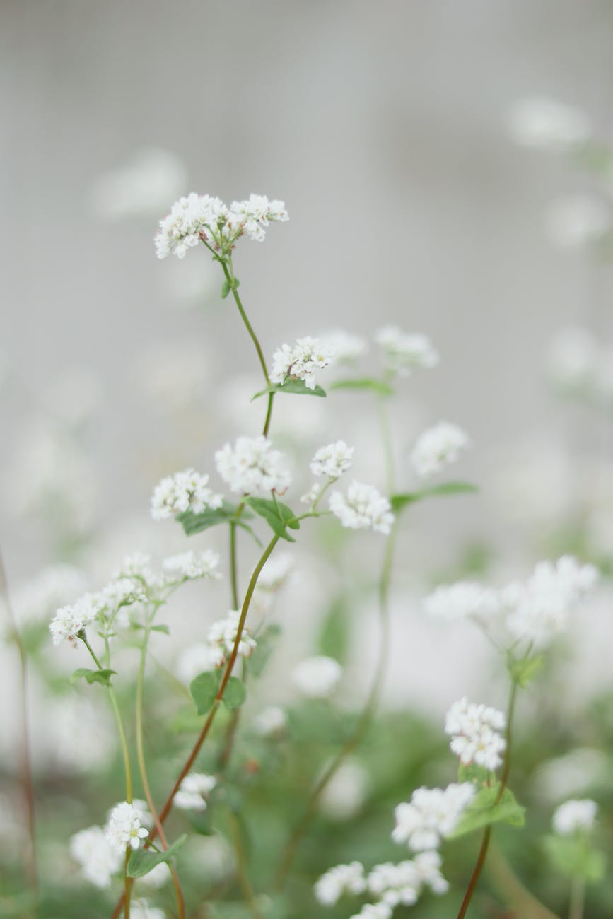 blooming white flowers on thin stems in field in nature