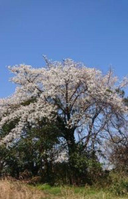 2020片瀬山山桜
