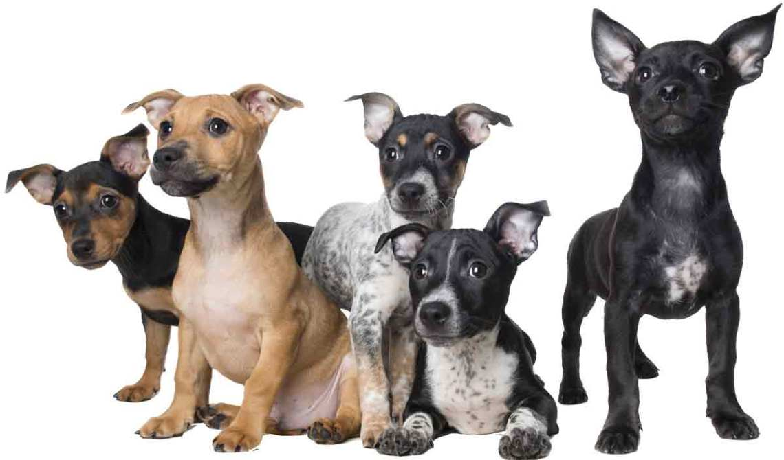 small-dog-puppies-group1200png