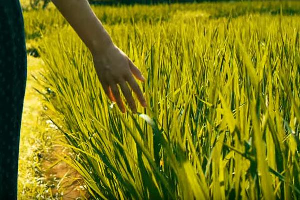 tabanan-jatiluwih-rice-terasse