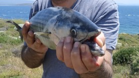At Çek Shore Jig Torik ve Sinarit Balık Avı / Shorejig Bonito Dentex Fishing