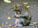 macaca fascicularis, alas kedaton, monkeys, forest, monkey forest, bali, places, places of interest, bali places of interest