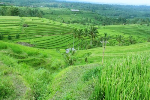bali water irrigation tours, resources, jatiluwih, bali, unesco, world, heritages, sites, rice, paddy, terrace, rice terrace, jatiluwih rice terrace, unesco world heritages