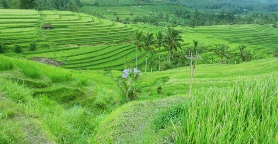 Jatiluwih Rice Terrace | Bali Rice Paddy Resources
