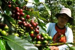 bali, coffee, luwak, plantations, bali coffee, luwak coffee, coffee plantations, bali coffee plantations, luwak coffee bali, bali luwak coffee, robust coffee