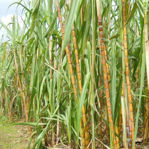 Sugar Indonesia