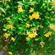 sárga növénytakaró