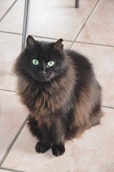 KALHUA : Belle minette à poils longs et aux yeux verts. Encore craintive, il lui faut quelqu'un de très patient avec qui elle pourra petit à petit être très affectueuse. Elle s'entend avec les chats adultes et n'a pas l'air d'avoir trop peur des chiens. Donnez-lui sa chance !