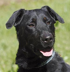 HOBO : Mâle Beauceron 3 ans, castré, très bon chien de compagnie, joueur et tendre.