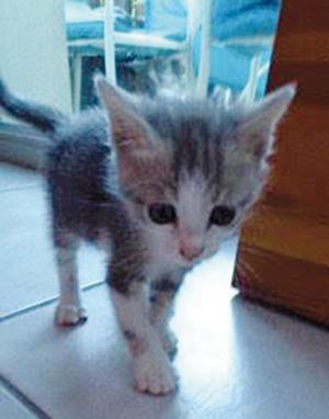 JAROD : Chaton mâle de 2 mois. adorable - OK chats et chiens.
