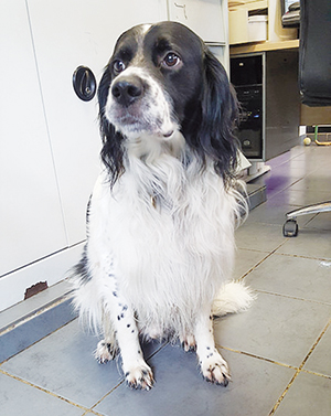 EDEN : Mâle croisé Epagneul 7 ans, castré, excellent chien de compagnie.