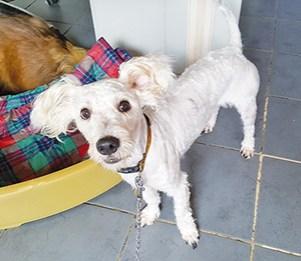 GYPSIE : Mâle croisé Westi 3 ans, castré, excellent chien de compagnie.