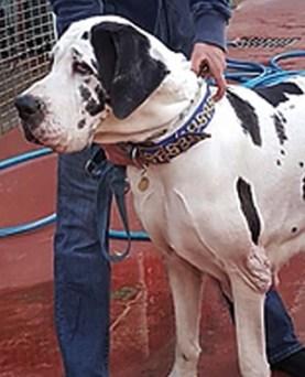GAIA : Femelle Dogue Allemand tendre et douce.