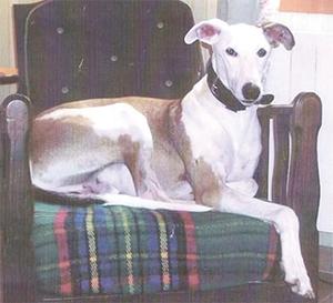 INDIEN : Galgo 10 ans, Très câlin, familial. Il est sensible, susceptible, très intelligent, très fin. Il n'aime pas la voiture, nous avons tout essayé avec le vétérinaire, si il faut le transporter en voiture il faut un sédatif. Il est ok chiens et chats et enfants. Indien a besoin d'un jardin.