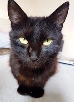 DORIA : Femelle d'environ 2/3 ans, réclame des câlins, ronronne très vite, très joueuse. OK chats.