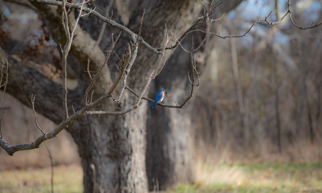 The Eastern Bluebird…One Of My New Discoveries at Connemara