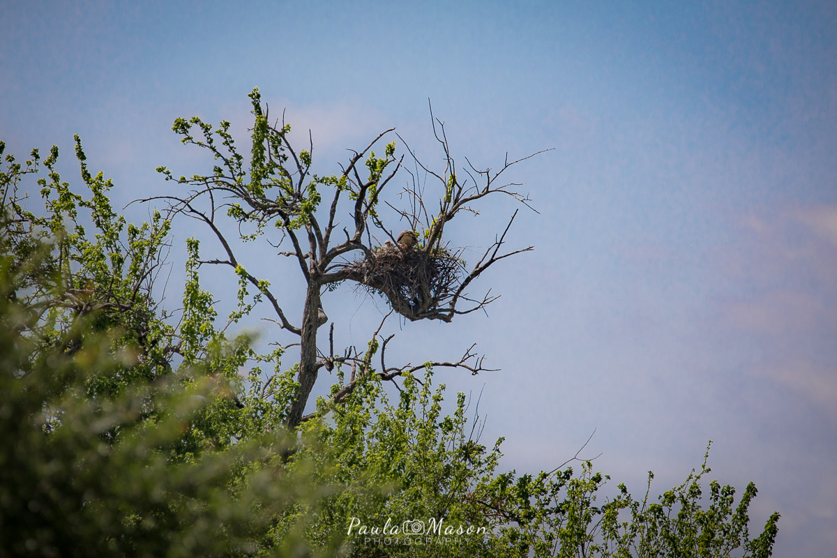 Chasing Red-tailed Hawks & Private Property