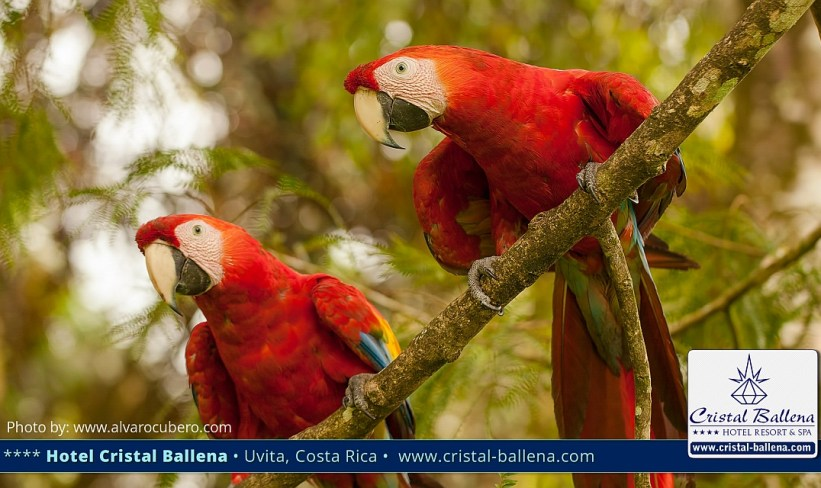 Scarlet Macaw Cristal Ballena Birding Paradise, Perfect for bird watching and wildlife holidays in Costa Rica