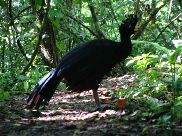 El pavo silvestre costarricense - Uvita, Bahia Ballena, Osa, Costa Rica