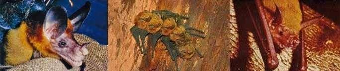 FLYING MAMMALS ~ Biodiversity Among Bats - Osa, Uvita - Ballena Tales