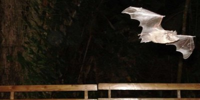 FLYING MAMMALS ~ Biodiversity Among Bats