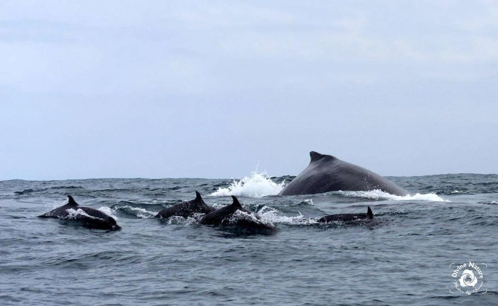 Humpbacks Whales - Photo by Sierra Goodman