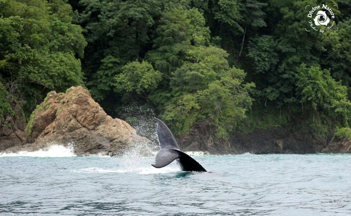 Las ballenas jorobadas - Photo by Sierra Goodman