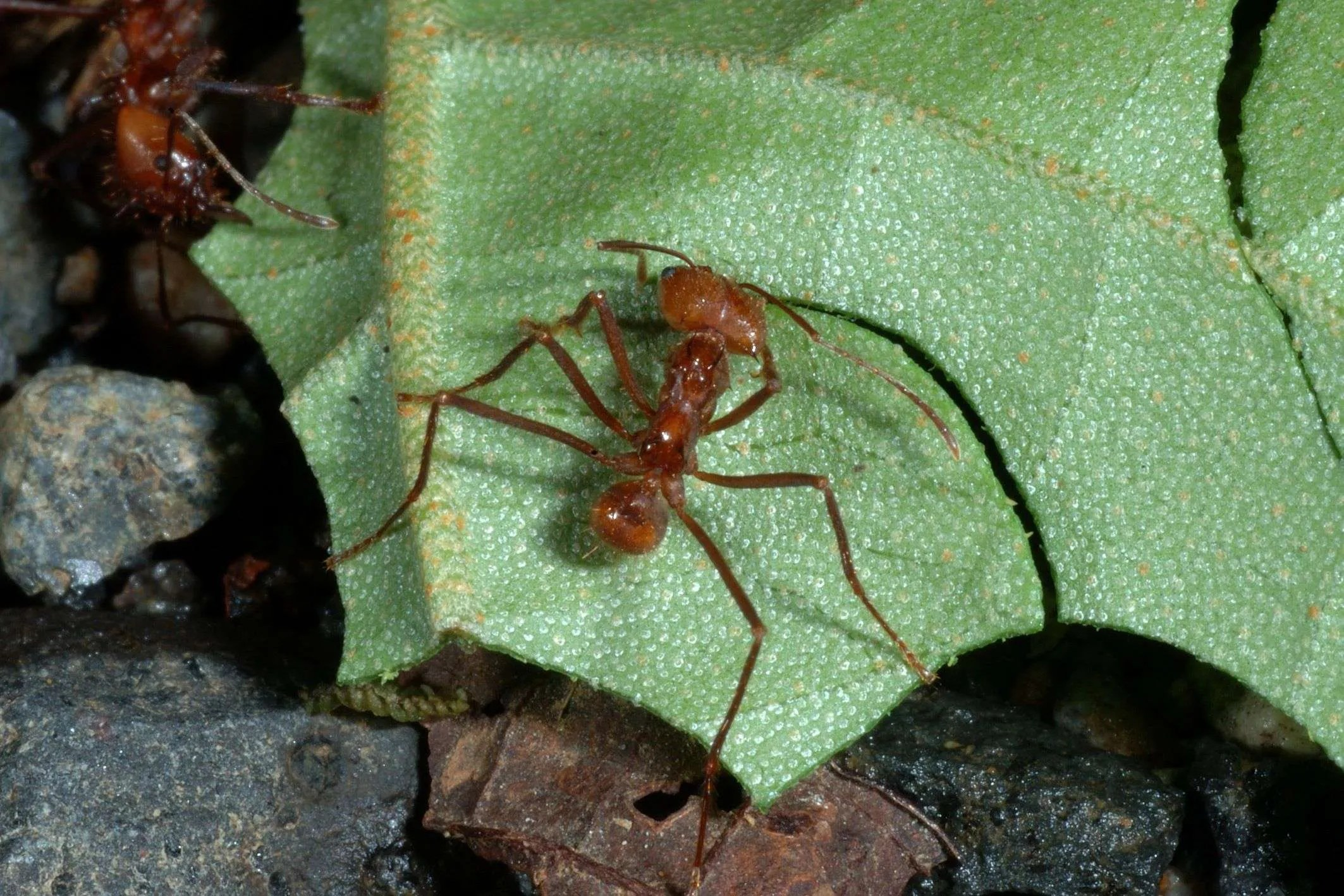 Tropical Insects: Amazing Leaf-Cutter Ants