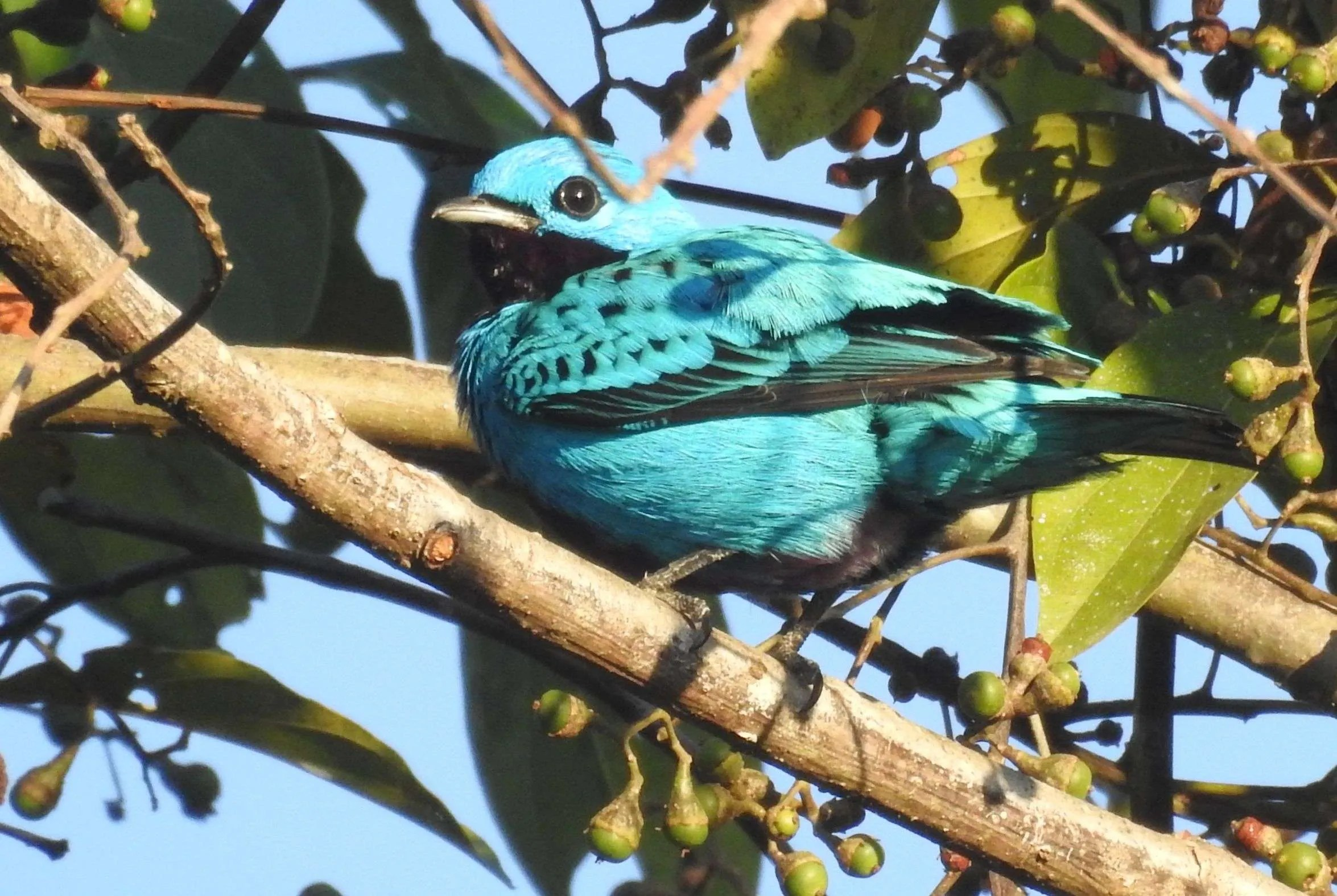 Blue Cotinga Birdwatching Spicies, Avistamiento de especies de aves Cotinga