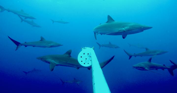 sharks - tiburones