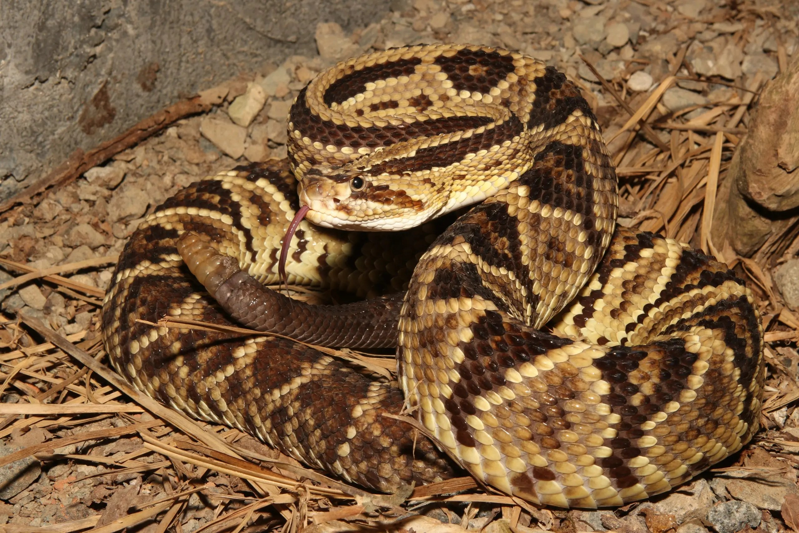 Jinglebells of the Snake World – the Neotropical Rattlesnakes
