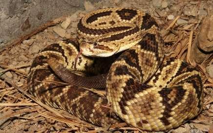 La Cascabel Neotropical - cascabeles del mundo de las serpientes 14