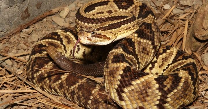 The Neotropical Rattlesnakes - Jingle bells of the Snake World 2