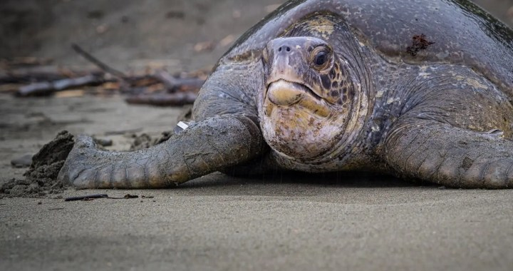 Turtles travel far – A historic Register