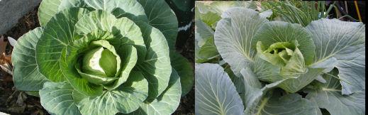 aquaponics cabbage comparison