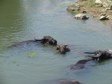 Water buffaloes cooling down in the river.