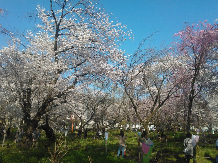 Cherry trees at Hirano Miyamotochou Park close to Ritsumeikan University