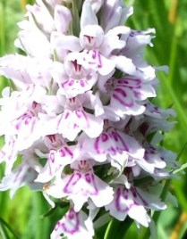 Common Spotted Orchid 2